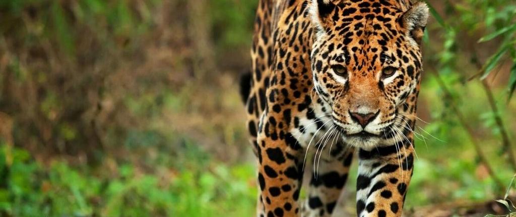 jaguar stalking toward camera