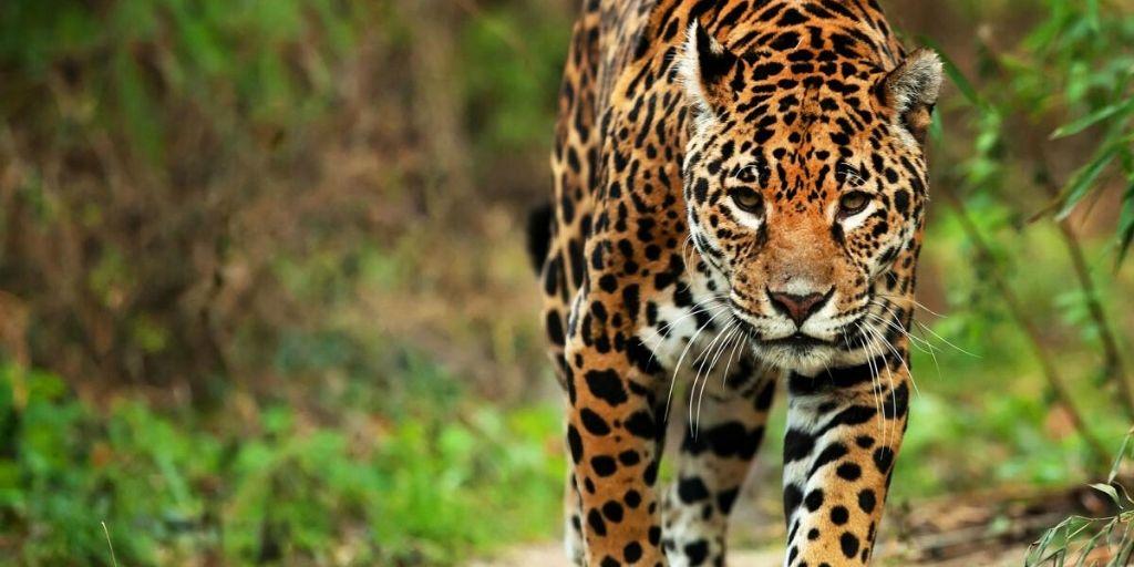 jaguar - one of the types of big cats - stalking toward camera