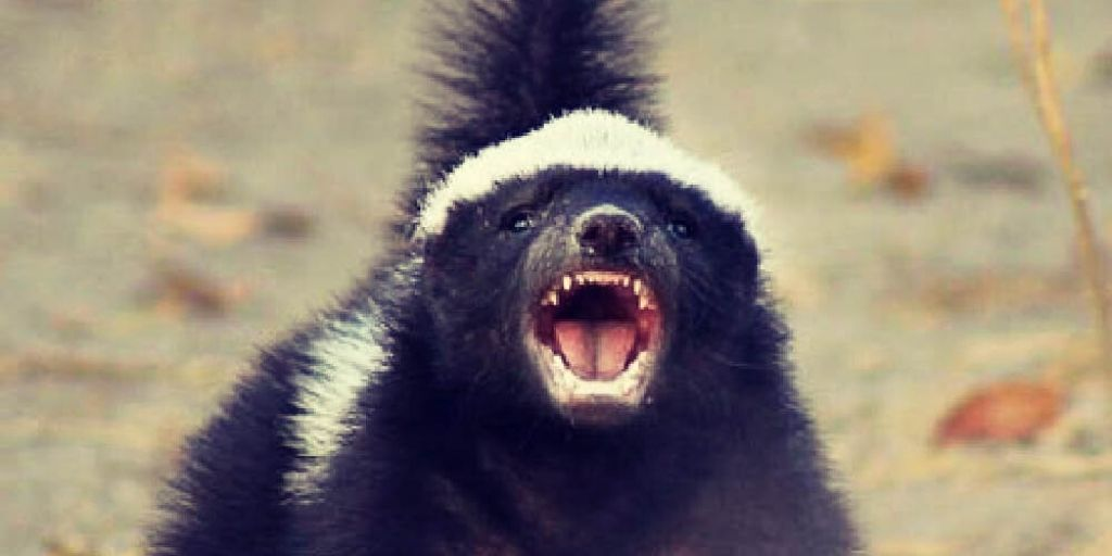 honey badger with teeth out