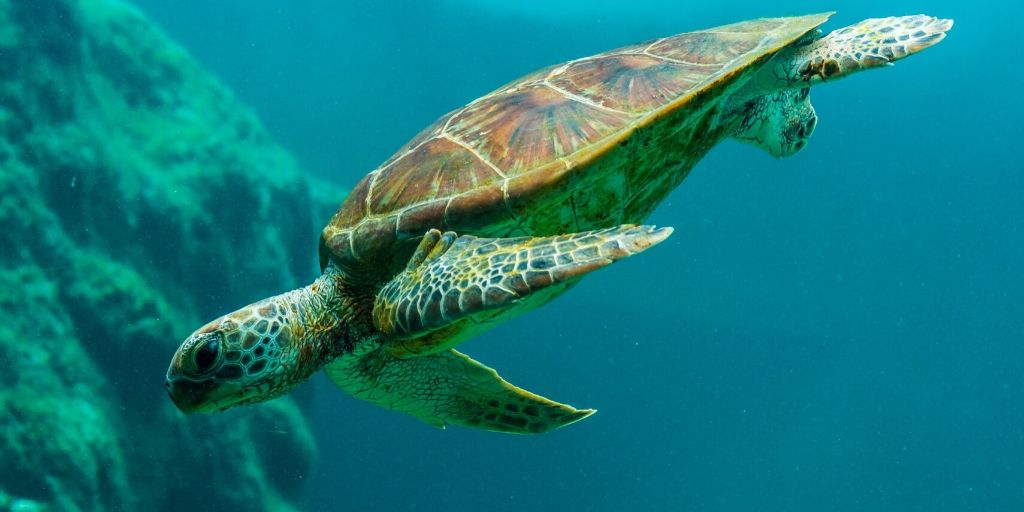 turtle swimming down with coral in backgorund