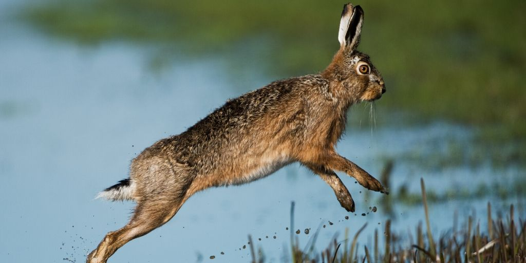 hare jumping over water - one of the fastest land animals