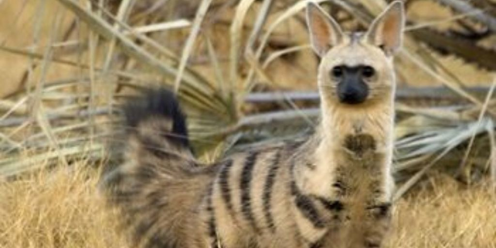 aardwolf standing and looking at camera