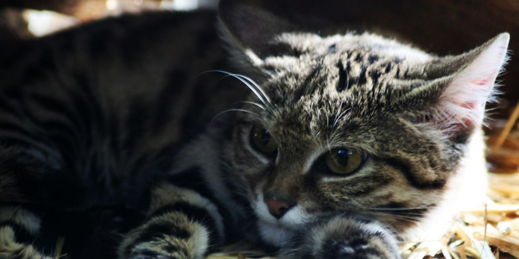Black footed cat close up of head and paws