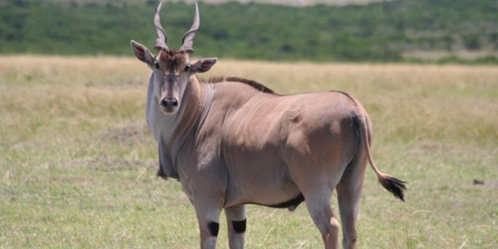 large male eland standing