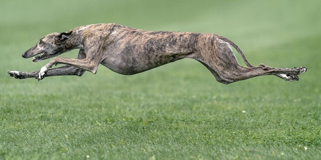 greyhound running at full speed - the world's fastest dog