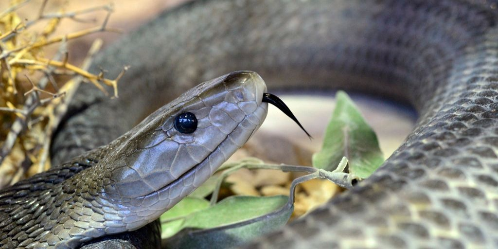 black mamba, africa's most dangerous snake