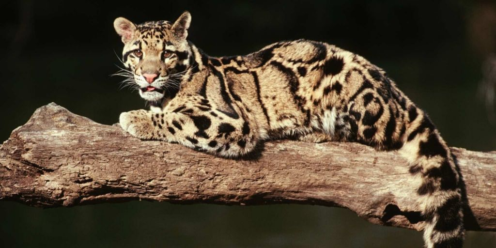 clouded leopard lying on branch with black background