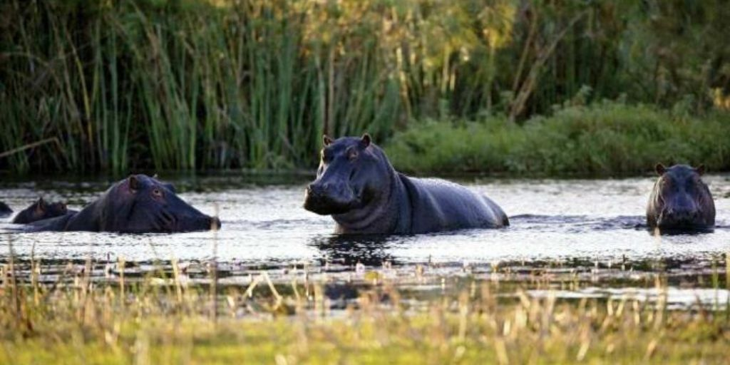 hippo relaxing in the limpopo river