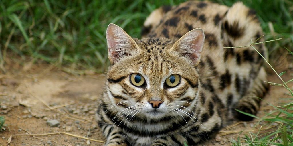 Black footed cat lying in grass in daytime