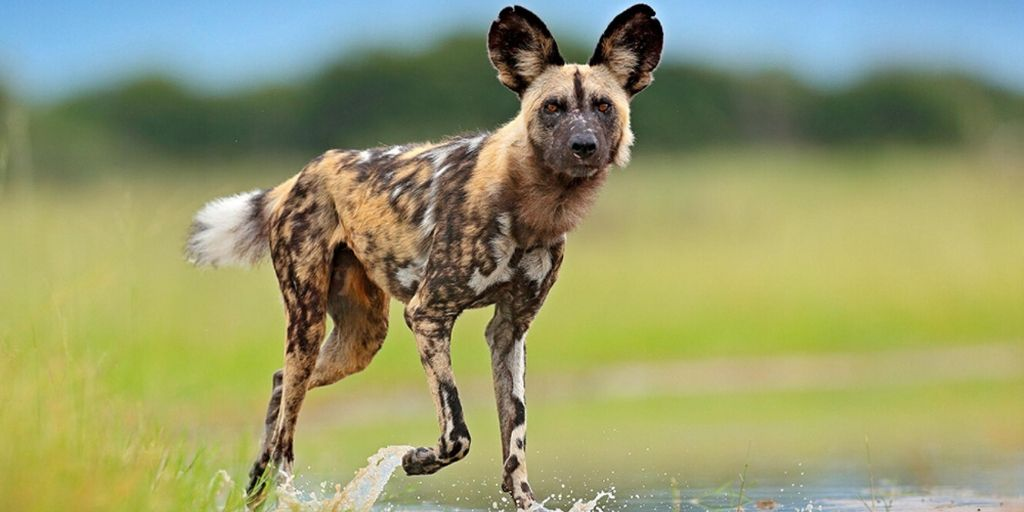 African hunting dog walking through water
