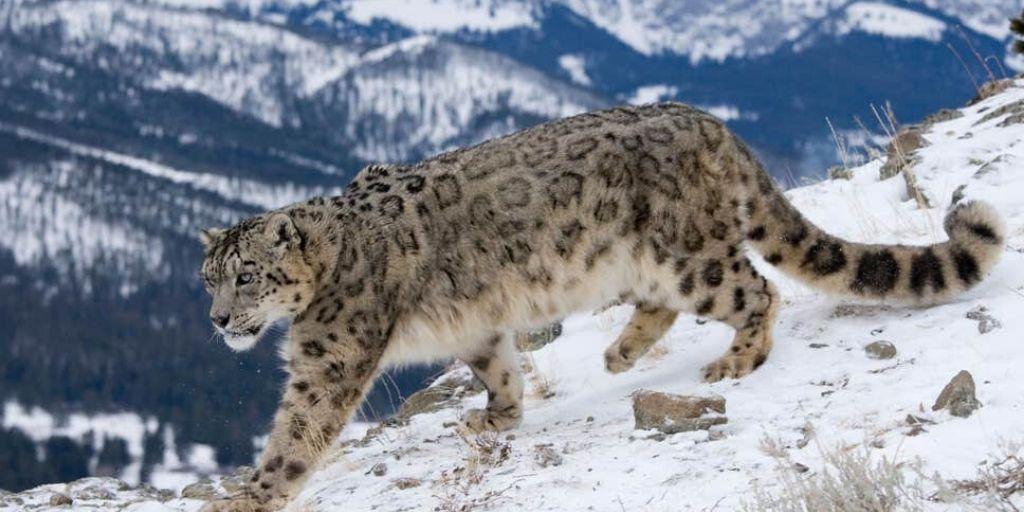 snow leopard walks down snowy mountain