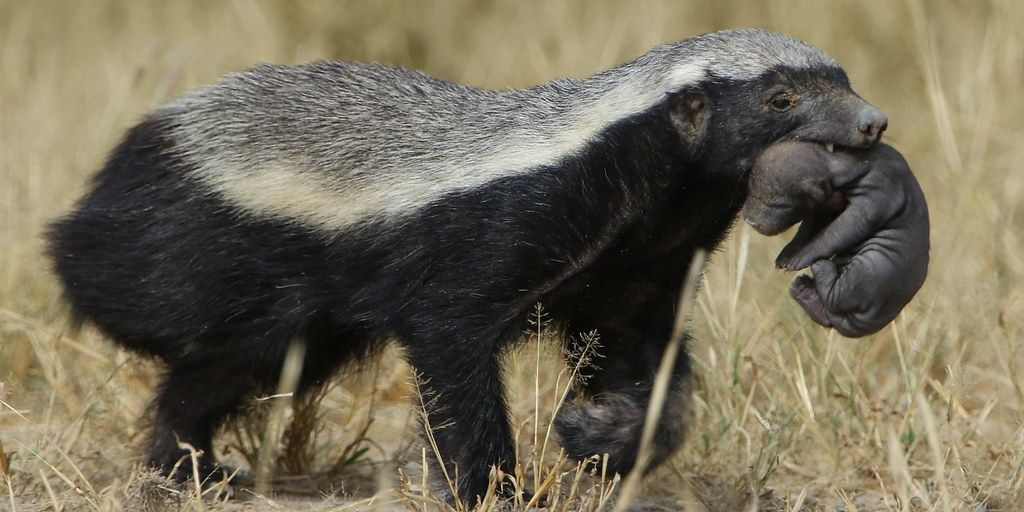 honey badger with pup in mouth