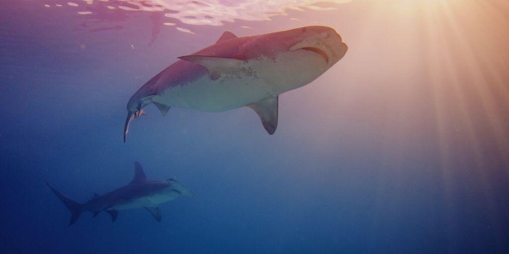 hammerhead and bull shark