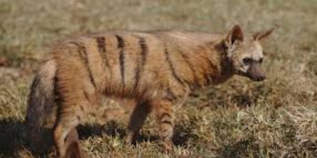 striped aarwolf standing on grass