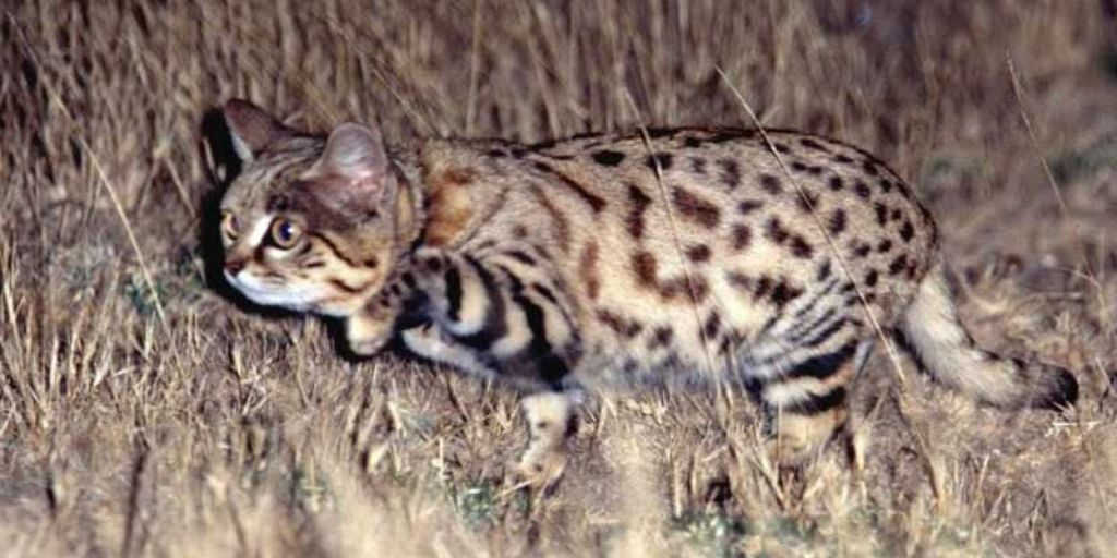 Black footed cat pouncing in grass