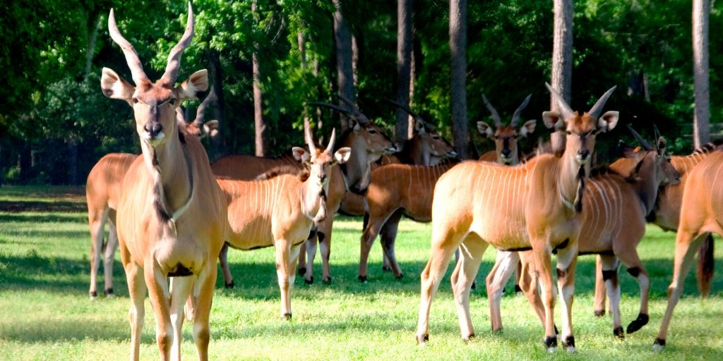 group of eland standing in sun
