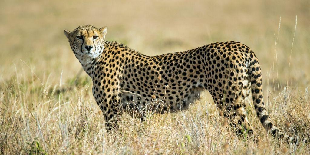 cheetah side on