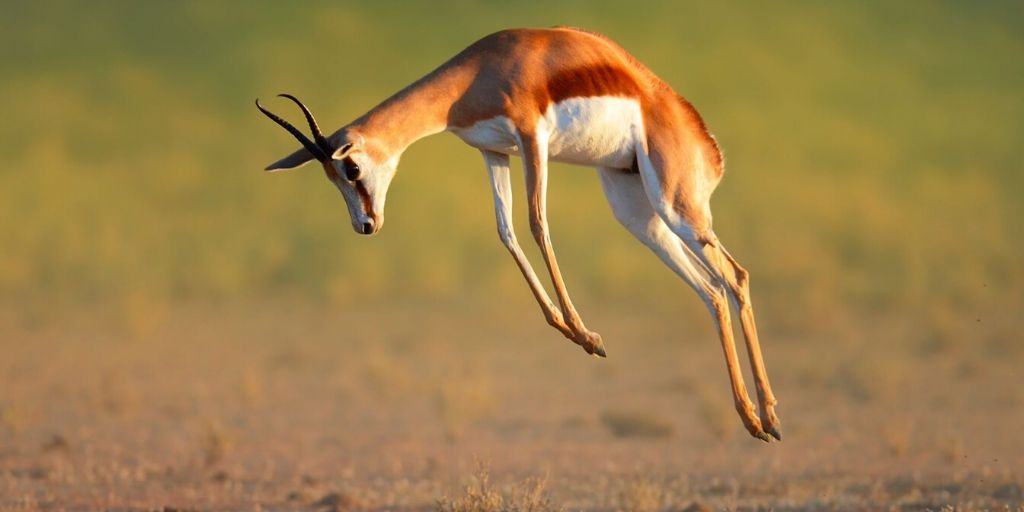 Springbok jumping in the air