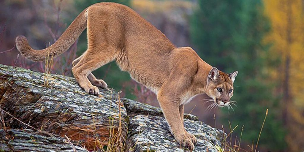 cougar standing on a rock