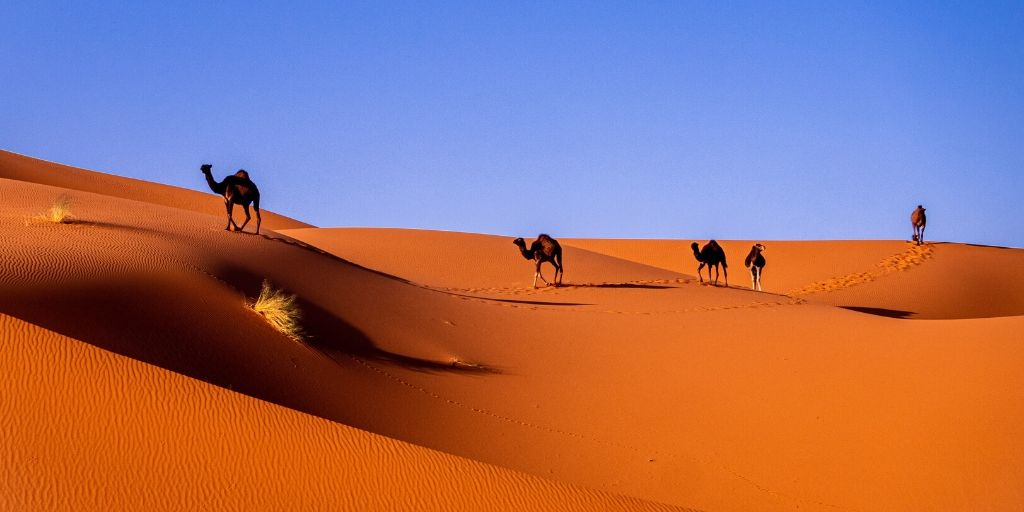 Camel caravan over the Saharan dune