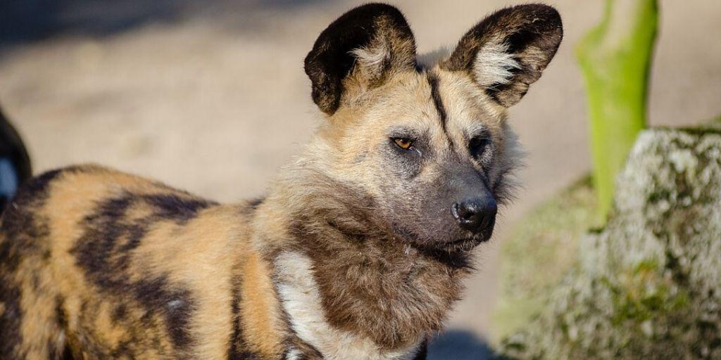 Endangered Animals of Africa 6