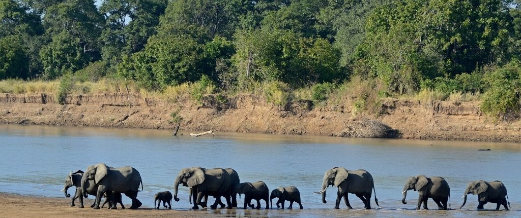 elephant family crossed luangwa river