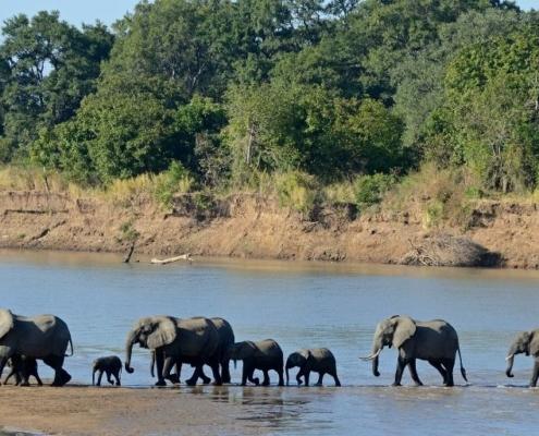elephant family crossed luangwa river
