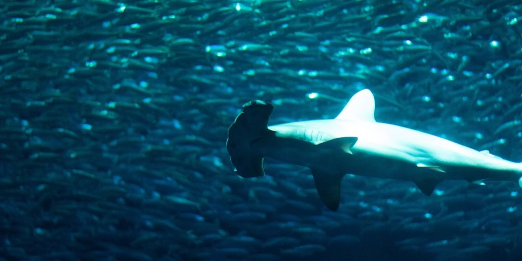 hammerhead in front of sardine shoal