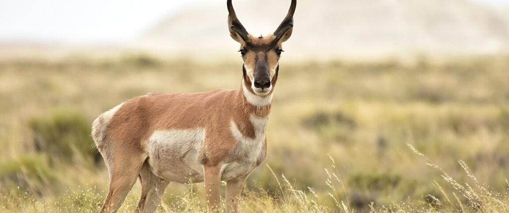 Pronghorn - fastest antelope on earth