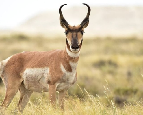 Pronghorn - fastest antelope on earth
