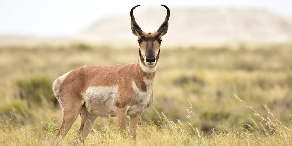 pronghorn antelope looking directly at camera with mountain in background - the fastest antelope on earth