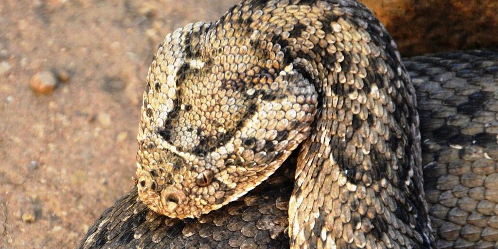 puff adder head