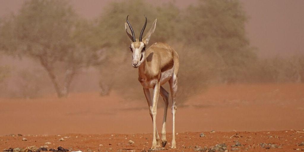 Gazelle walks through a sandstorm in the Kalahari desert - one of the wettest deserts in Africa