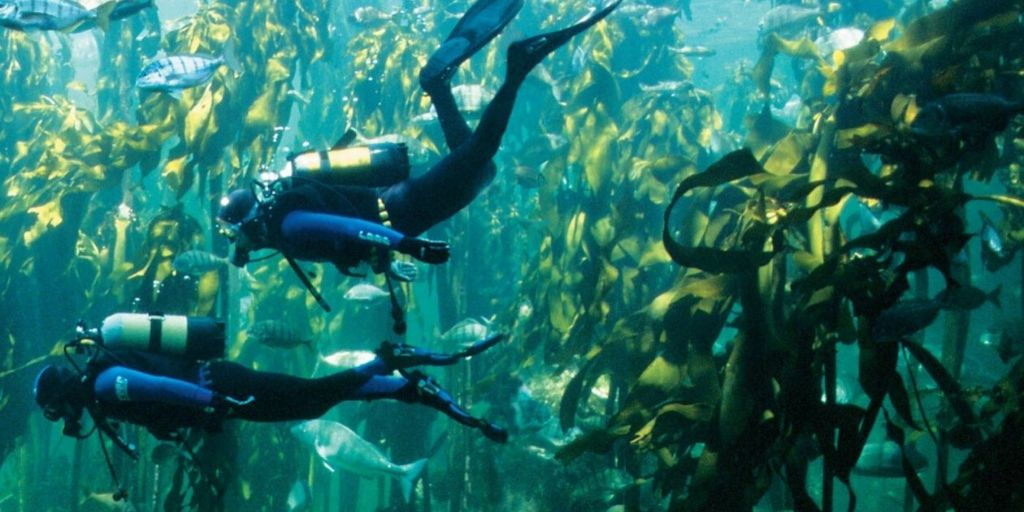 two divers in cape town's kelp forest