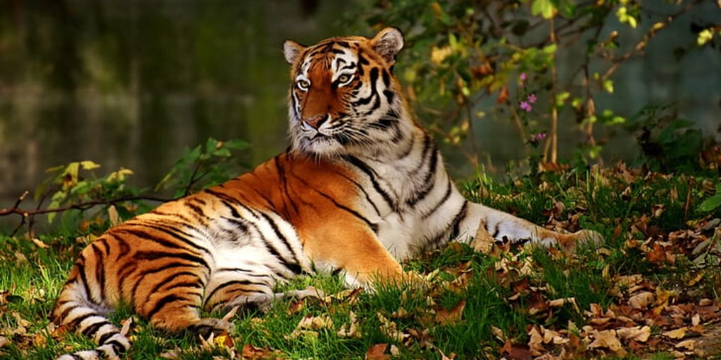 tiger lying down on the ground