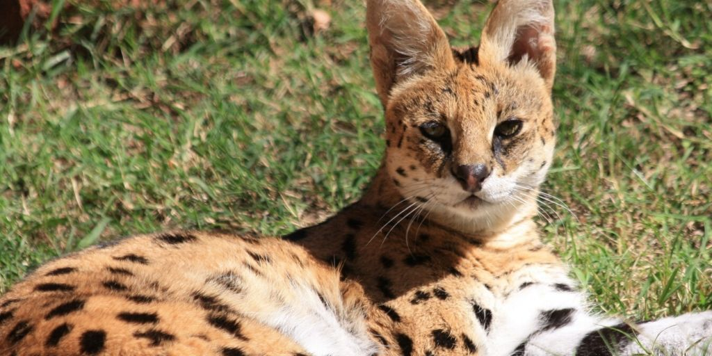 serval african wild cat lying on grass in the sun