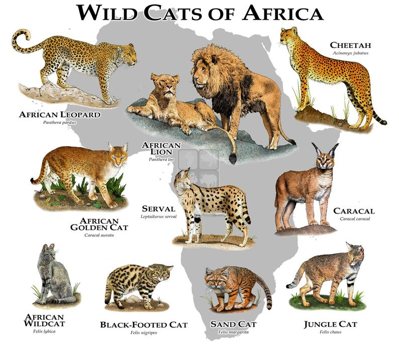 wild cats of africa poster