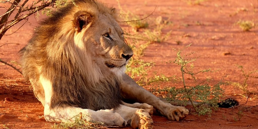 male lion lying in sun