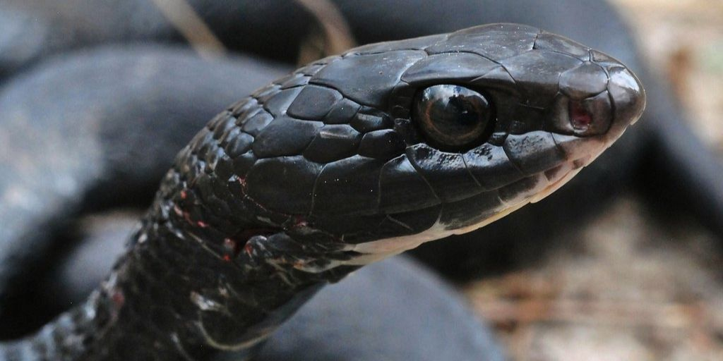 southern black racer head