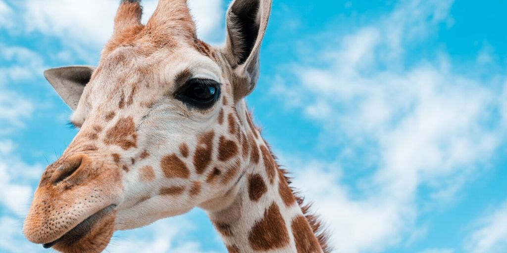 giraffe face with blue sky behind