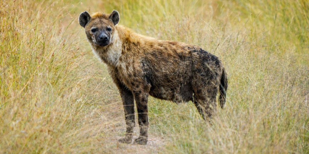 hyena standing in long grass
