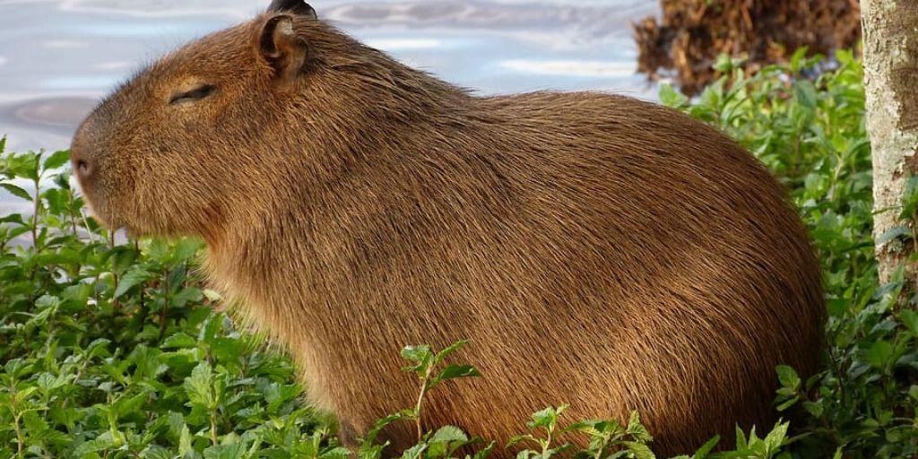 capybarra, world's biggest rodent