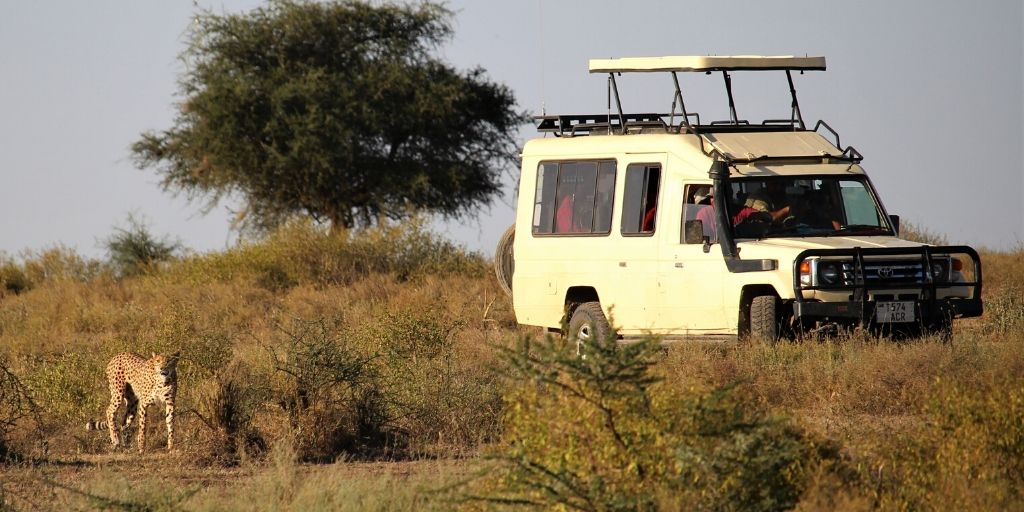 game drive with white jeep and cheetah