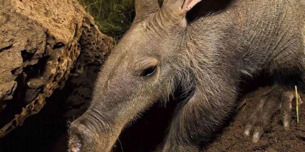 aardvark head close up