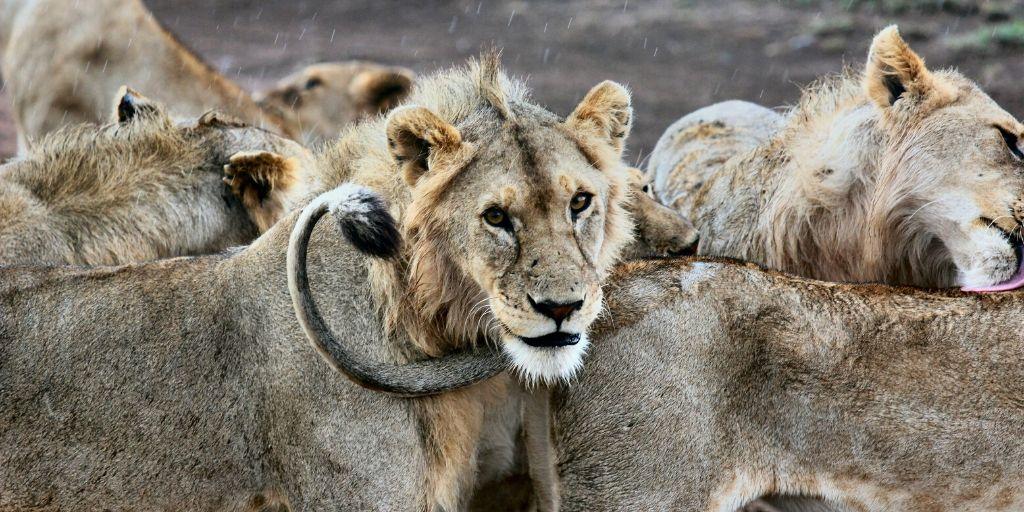 pride of lions in rain