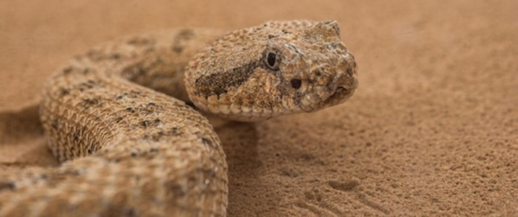 sidewinder - fastest snake in the world - in sand