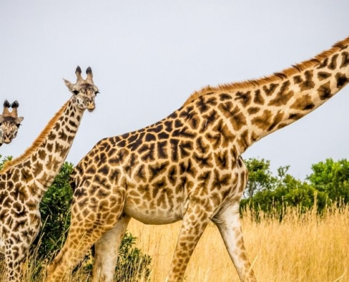 giraffe mother with two young