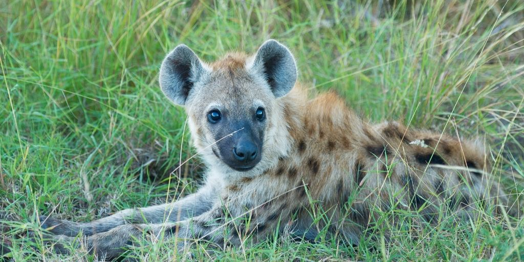hyena lying in green grass