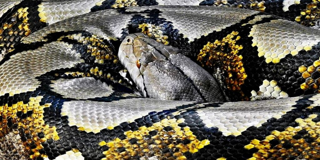 coiled reticulated python, world's longest snake