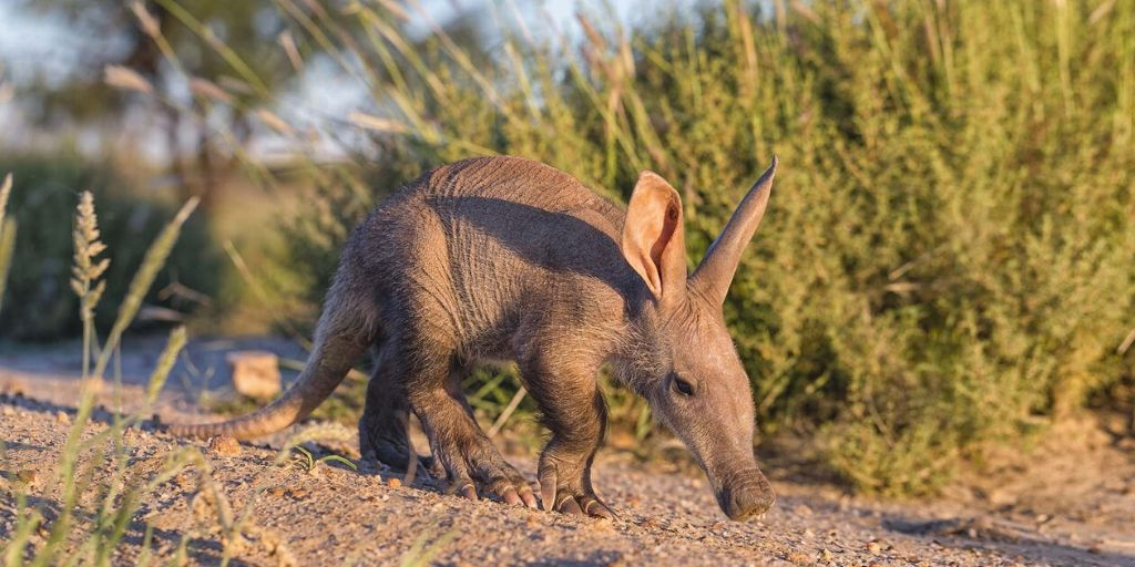 juvenile aardvark walks towards camera in sunshine